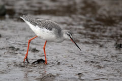 Spotted redshank, Tringa erythropus Stock Photos