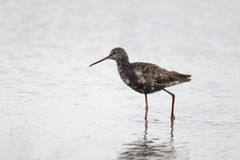 Spotted redshank, Tringa erythropus. Single bird standing in water, Norfolk, July 2010 Stock Photo