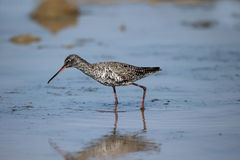 Spotted redshank, Tringa erythropus Stock Images