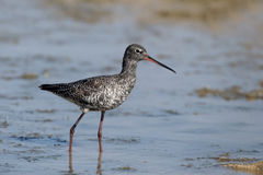 Spotted redshank, Tringa erythropus. Single bird in water, Cyprus , April 2015 Stock Photo