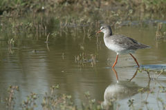 Spotted redshank (Tringa erythropus) Stock Photos