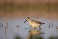 Spotted Redshank (Tringa erythropus). Royalty Free Stock Photo