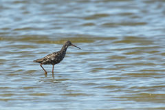 Spotted Redshank Royalty Free Stock Image