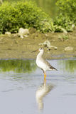 Spotted Redshank (Tringa erythropus) walking at shore Stock Photo