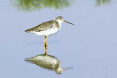 Spotted Redshank (Tringa erythropus) walking at shore Royalty Free Stock Photography