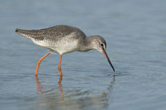 Spotted Redshank Stock Photography