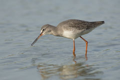 Spotted Redshank Royalty Free Stock Photography