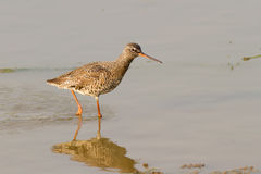 Spotted Redshank Walking Royalty Free Stock Photos