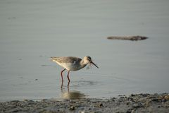 Spotted Redshank. Was eating dragonfly Royalty Free Stock Photos