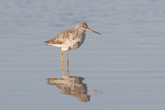 Spotted Redshank in water / Tringa ery Stock Photo