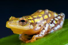 Spotted reed frog / Hyperolius substriatus Stock Photo