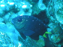 Spotted Reef Fish Royalty Free Stock Image
