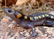 Spotted Salamander Stock Images