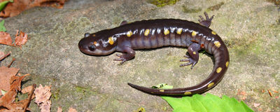 Spotted Salamander (Ambystoma maculatum) Stock Images