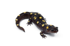 Spotted Salamander (Ambystoma maculatum) Royalty Free Stock Photo