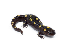 Spotted Salamander (Ambystoma maculatum) Royalty Free Stock Photos