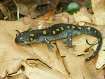 Spotted Salamander (Ambystoma maculatum). In an Illinois woodland Royalty Free Stock Photo