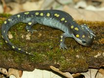 Spotted Salamander Ambystoma maculatum. On a log in the Midwest United States Royalty Free Stock Images