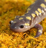Spotted Salamander. Closeup portrait of spotted salamander Royalty Free Stock Photos