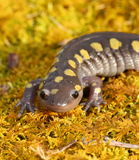 Spotted Salamander. Closeup portrait of spotted salamander Stock Photos