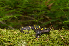 Spotted Salamander Royalty Free Stock Photography