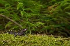 Spotted Salamander Stock Photography