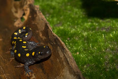 Spotted Salamander Royalty Free Stock Image