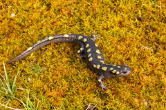 Spotted Salamander. On green moss Stock Photo