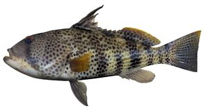 Spotted Sand Bass. Fish illustration on white background Royalty Free Stock Images