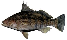 Spotted Sand Bass. Fish illustration on white background Royalty Free Stock Photo