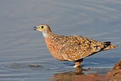 Spotted sandgrouse Stock Photography