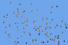 Spotted sandgrouse in flight. Flock of spotted sandgrouse (Pterocles burchelli) in flight, Kalahari desert, South Africa Royalty Free Stock Photography