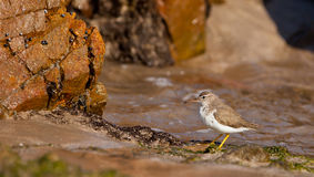 Spotted Sandpiper Royalty Free Stock Photos