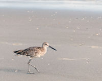 Free Spotted Sandpiper Stock Photos - 78043803