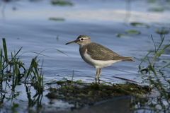Spotted sandpiper, Actitis macularis Royalty Free Stock Photo