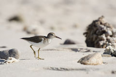 Spotted Sandpiper (Actitis macularius) on the Beach in Mexico Stock Image