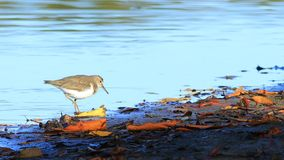Spotted Sandpiper, Actitis macularius, from Costa Rica. A Spotted Sandpiper, Actitis macularius, from Costa Rica stock video