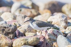 Spotted Sandpiper Actitis macularius Foraging in the Rocks Royalty Free Stock Photography