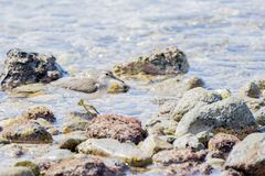 Spotted Sandpiper Actitis macularius Foraging in the Rocks Stock Photo