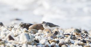 Spotted Sandpiper Actitis macularius Foraging in the Rocks Royalty Free Stock Image