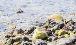 Spotted Sandpiper Actitis macularius Foraging in the Rocks Royalty Free Stock Images