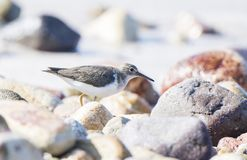 Spotted Sandpiper Actitis macularius Foraging in the Rocks Stock Photos