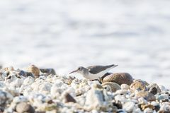 Spotted Sandpiper Actitis macularius Foraging in the Rocks Stock Images