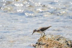 Spotted Sandpiper Actitis macularius Foraging in the Rocks royalty free stock photos