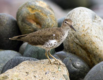 Spotted Sandpiper, Actitis macularius. A handsome migratory shorebird standing on rocks, Peru. The bird has spots and is in breeding plumage ready for migration Stock Image