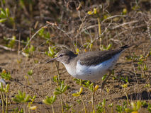Spotted Sandpiper. (Actitis macularius) hunting for food Stock Image