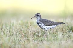 Spotted Sandpiper bird, Georgia USA. Spotted Sandpiper, Actitis macularius, an inland shore bird. Photographed in May in Walton County, Monroe, Georgia, USA Royalty Free Stock Images