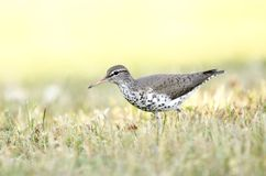 Spotted Sandpiper bird, Georgia USA. Spotted Sandpiper, Actitis macularius, an inland shore bird. Photographed in May in Walton County, Monroe, Georgia, USA Stock Image