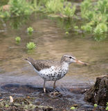 Spotted Sandpiper Stock Image