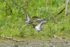 Spotted Sandpiper - Actitis macularius. Two male Spotted Sandpipers fighting over territory and mating rights. Rouge National Urban Park, Toronto, Ontario Stock Photos